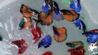 Betta fishes for sale in Bangalore All veriety of betta fish available contact on number in video