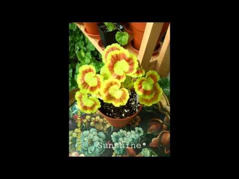 Pelargonium Mrs. Quilter 1