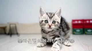 라온캣 고양이분양 아메리칸숏헤어
