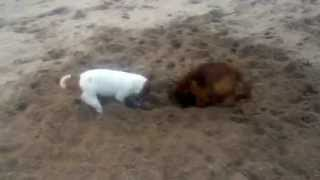 Border Terrier Gets Digging Lesson From Jack Russell