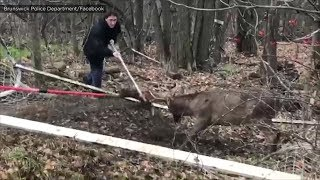 Deer rescue: Officers save deer trapped in soccer net