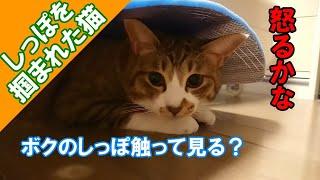 猫のかわいいしっぽを突然触ったら猫は怒り出すのか検証してみた!
