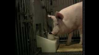 INTELLIGENCE / Groin-Groin, le cochon génial