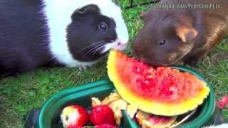 Guinea Pigs Eating Watermelon ♥ ♥ ♥