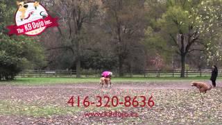 Toronto Siberian Husky Off Leash Dog Training