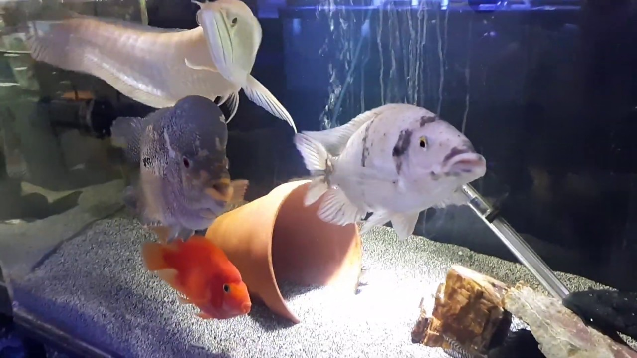 Monster fish tank with a bossy convict