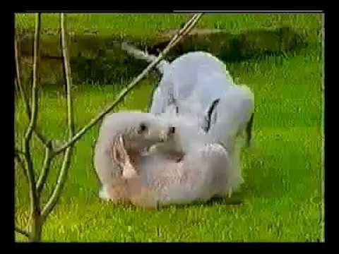 Bedlington Terrier - Dog Breed