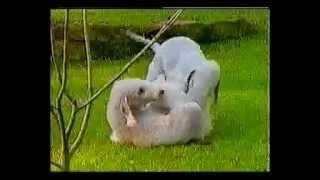 Bedlington Terrier  Dog Breed