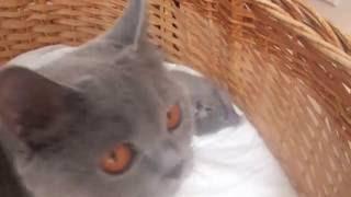Британская кошка ухаживает за своими котятами