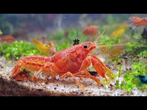 Mexican Dwarf Crayfish Eating With Neocaridina Shrimp | Community Aquarium