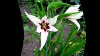видео Цветок ацидантера. Посадка и уход в домашних условиях