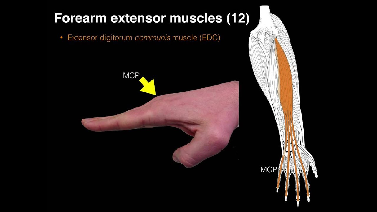 Forearm extensor muscles - YouTube