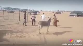 حمار يضرب بكستاني ههههههه