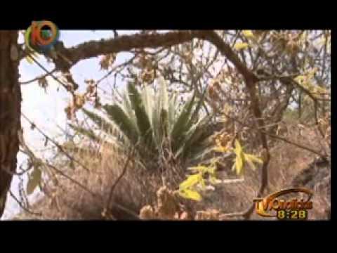 Sección Nuestra BIOSFERA: Cicadas en Nambiyigua