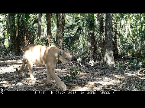 Florida Everglades Trail Camera Pickup