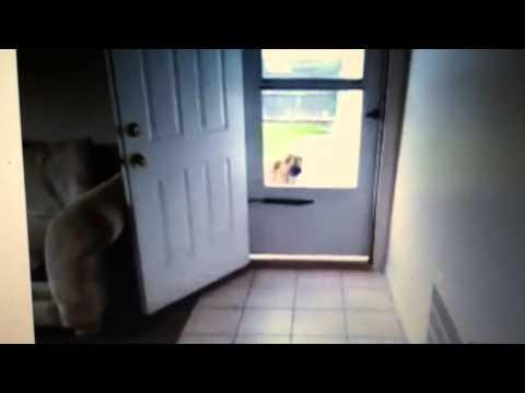 Smart dog jumps through window