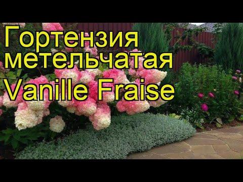 Гортензия метельчатая Vanille Fraise. Краткий обзор, описание характеристик