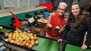 Sortowanie Jabłek u Anity ☆Jak Wygląda Praca Na Gospodarstwie w Holandii