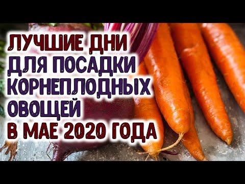 Лучшие дни для посадки картофеля и посева семян корнеплодных овощей (моркови, свеклы...) в мае 2020