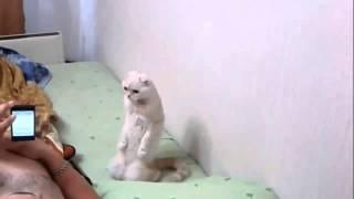 Кошка патриот встает услышав гимн. Прикол. cat patriot