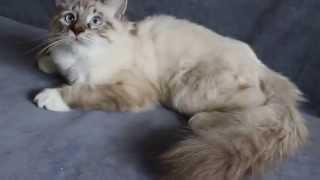 Чудесный невский маскарадный кот