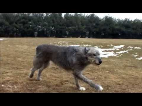 Dog Breeds - Irish Wolfhound. Dogs 101 Animal Planet