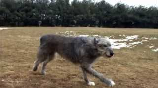 Dog Breeds  Irish Wolfhound. Dogs 101 Animal Planet