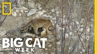 Tracking Orphaned Cougars | Big Cat Week