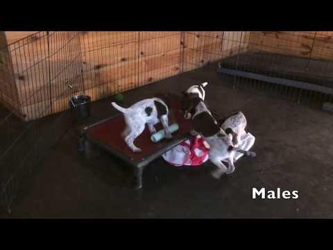 Berta x Grouser 10-14-18 GSP Puppies