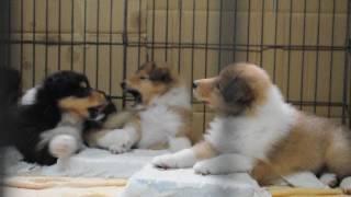 名犬ラッシーでおなじみの、大型犬コリー犬の子犬動画を撮影しました。2...