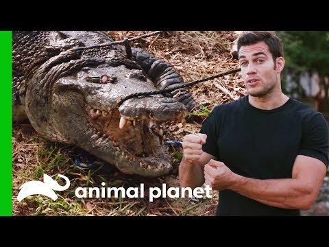 Evan Gets Up Close With A 300lb Crocodile For A Medical Check-Up | Evan Goes Wild