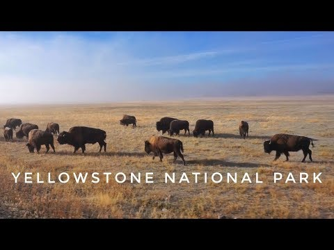 Yellowstone's Majestic Bison on a Foggy Morning