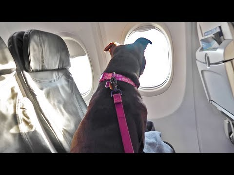 Taking My Pitbull On An Airplane