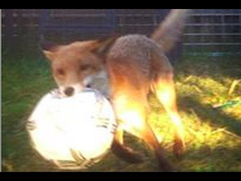 fox playing with dog