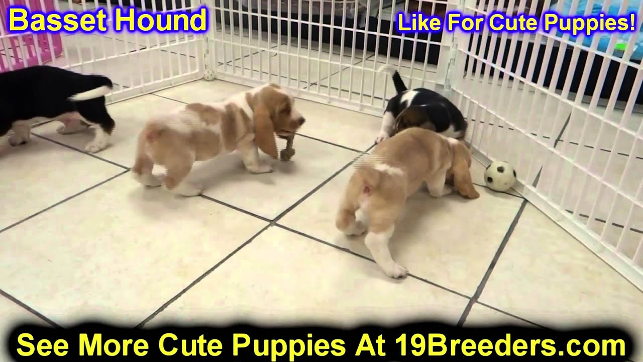 Basset Hound Puppies For Sale In Portland Oregon Or