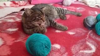 Расскажу про нашего котика - Риччи. Он у нас курильский бобтейл!