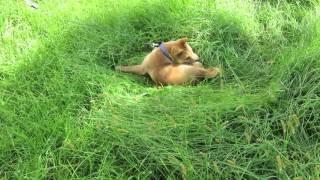 草むらでたわむれる生後3か月の山陰柴犬バロン。