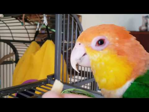 White bellied  Caique parrot  Storm eat cheese 4 december anno 2017