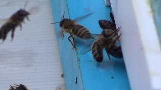Пчелы ! Новый проект!