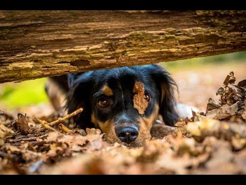 Bracken - Brittany Spaniel - 5 Week Residential Dog Training at Adolescent Dogs