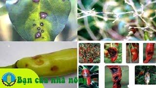 Phương pháp, kỹ thuật phòng và trị các bệnh hại trên cây ớt