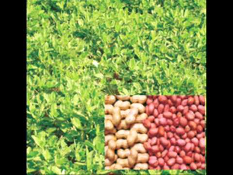 Mung phali/ Peanut /Groundnut kasht  kari Dr Ashraf Sahibzada