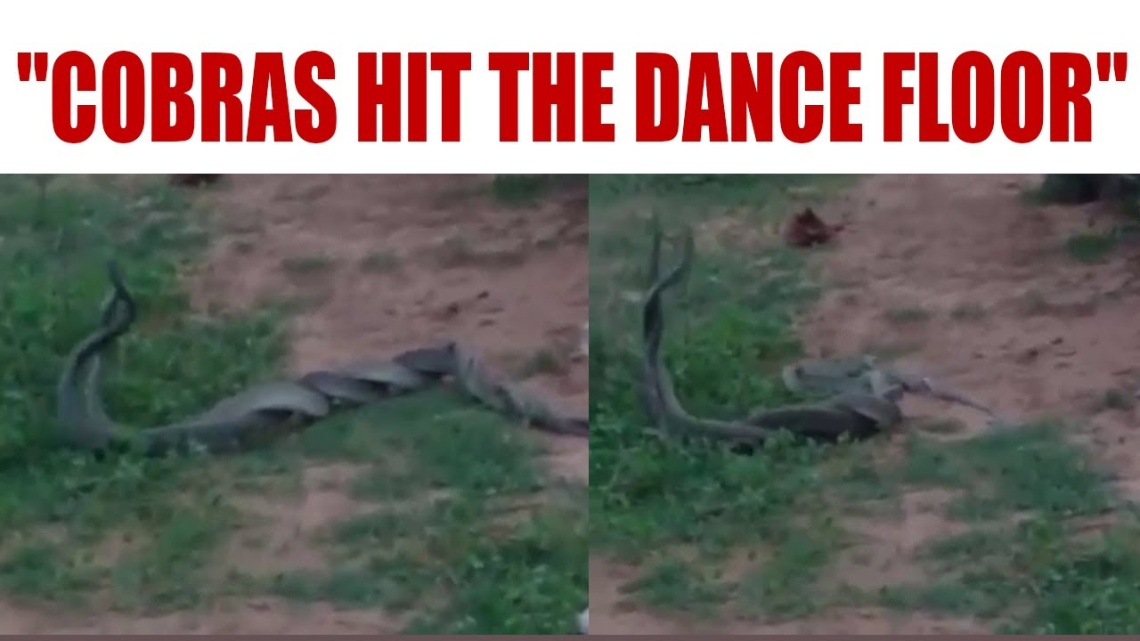 Dancing Cobras in Odisha enchant villagers | Oneindia news