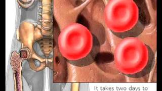 How Red Blood Cells are produced Erythropoiesis