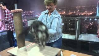 Сибирская кошка Siberian cats