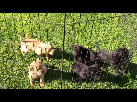 Rescue pups - Corgi/Terrier/lab mix -  small breed - lab puppies