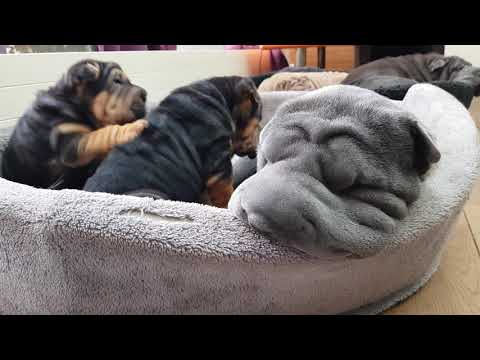 Most amazing sharpei puppies :-)