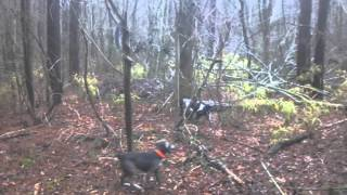 Squirrel Dog Training.  Black Mouth Cur And Fiest