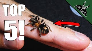 Top 5 MUST HAVE Tarantulas! Beginner friendly list