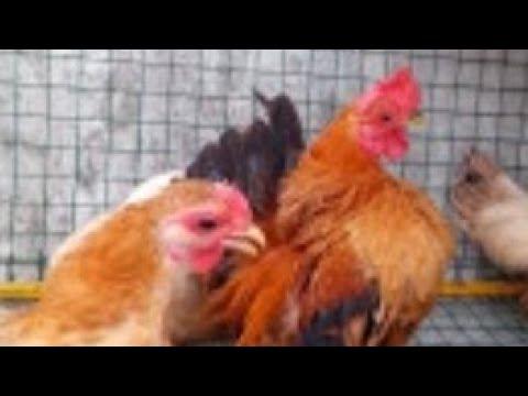 ไก่ซารามอ ไก่สายเลือดแช้มสนามแข่งขัน